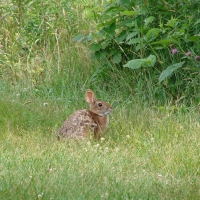 A cottontail rabbit in a green field.