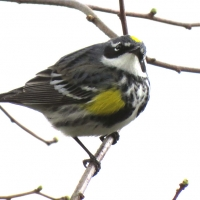 A warbler perches on a branch