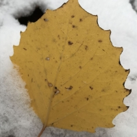 Bright yellow big tooth aspen leaf rests against the snow