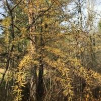 yellow needles of tamarack in autumn