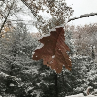 Copper colored red oak leaf hangs suspended while snow covered
