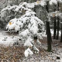 Snow-covered hemlock bough bends downward