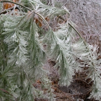 A white pine sapling is encased in ice.
