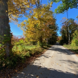 Yellow maple foliage along a scenic back road under blue sky